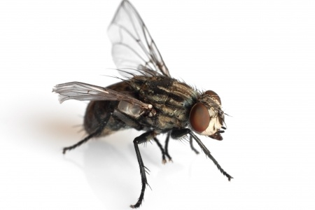 Ancient Flies